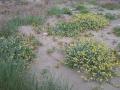 Dune vegetate in Versilia