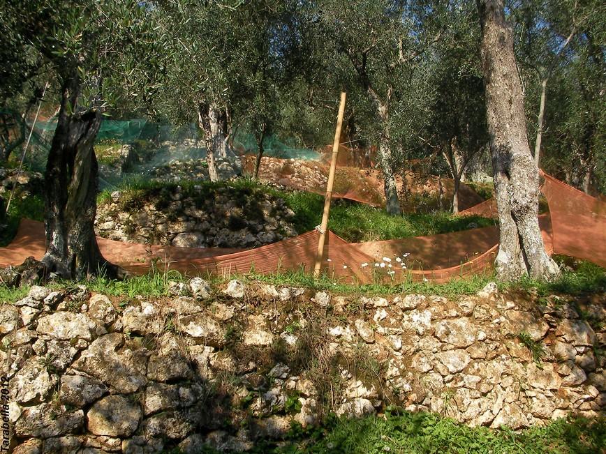 Terrazze coltivate a olivi