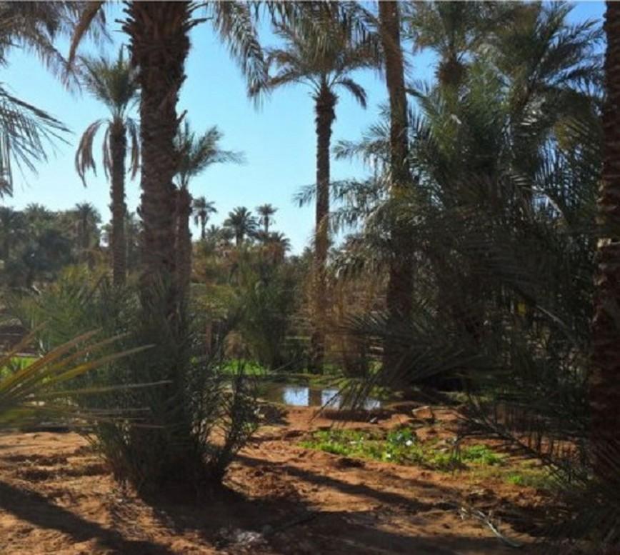 Coltivazioni nell'oasi