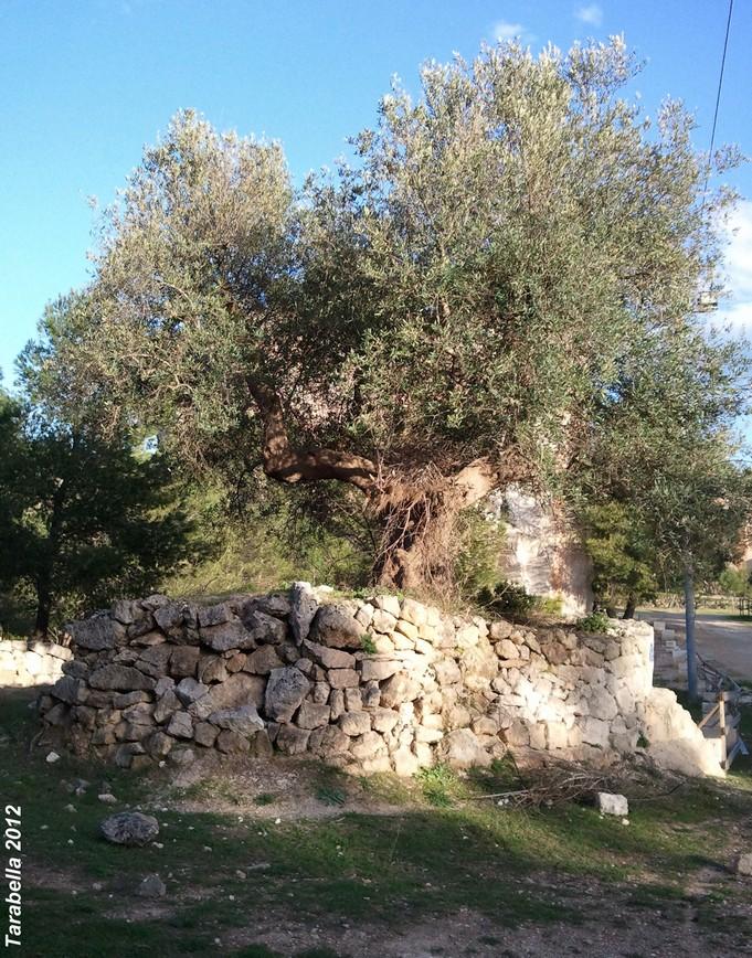 Recinto di pietra intorno all'olivo