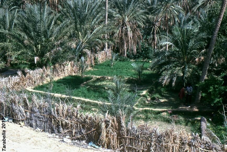 Coltivazioni nell'oasi di Nefta