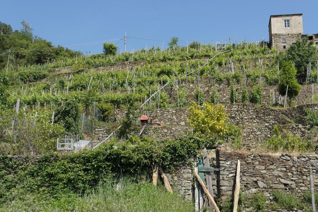 Particolare di un terrazzamento a Corniglia