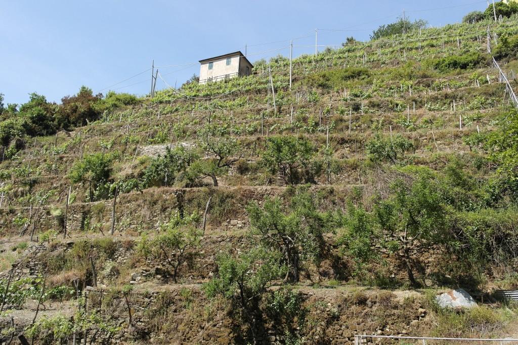 Particolare di un terrazzamento verso Manarola