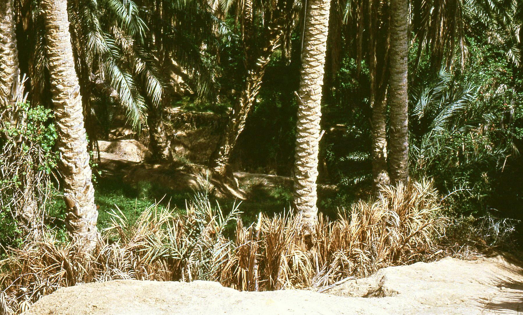 Barriere vegetali protettive nell'oasi
