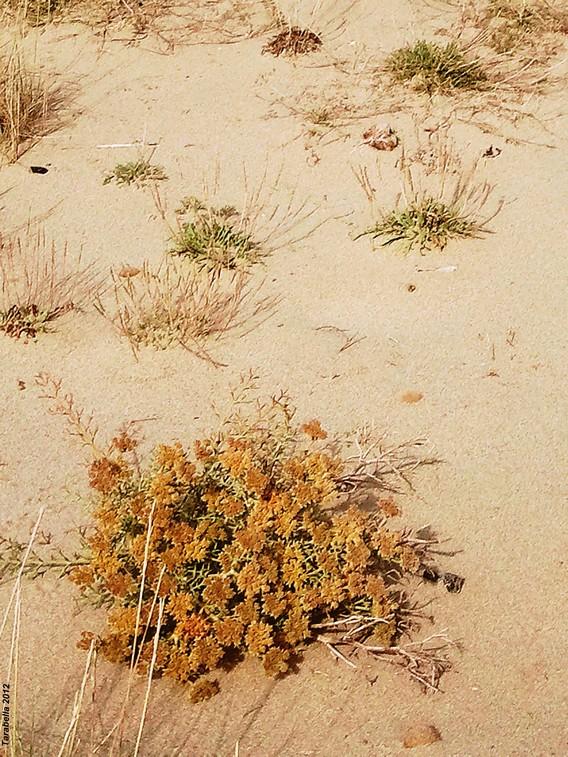 Dune vegetate ( Versilia -Toscana)