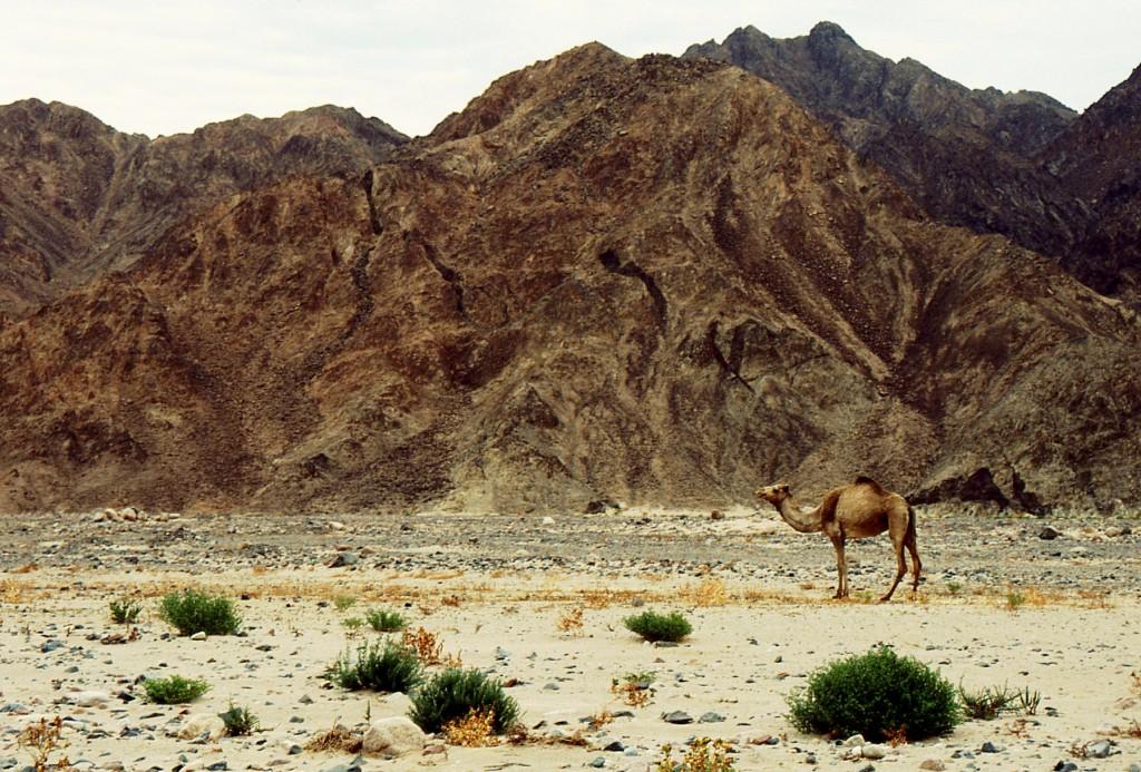 Sinai cammello