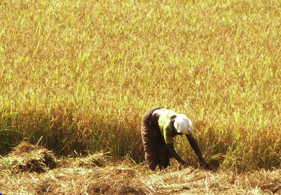 Coltivazione del grano
