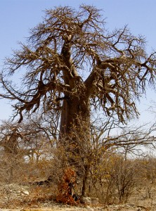 Senegal. In the Sahel, where the tall baobabs soak up rain water during the summar, the phenomenon of desertification advance because of the impoverishment of plant species and of soil quality due to the crisis of the traditional knowledge and the overexploitation of resources